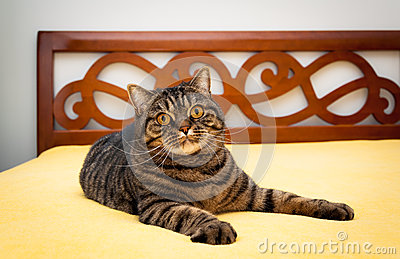 Tabby cat on bed