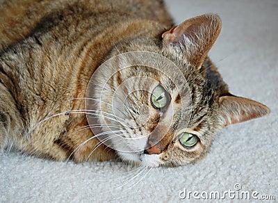 Tabby cat gazing