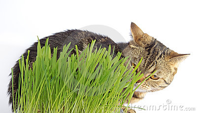 Tabby cat in grass on white background