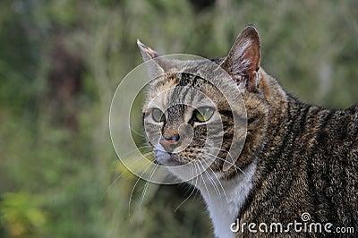 Tabby Cat Hunting
