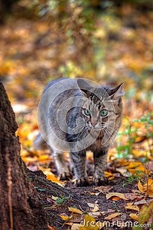 Tabby cat s portrait in autumn