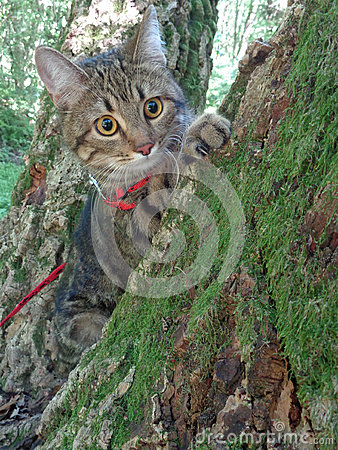 Free Tabby Cat Sitting On Mossy Tree And Look Around Royalty Free Stock Image - 82493266