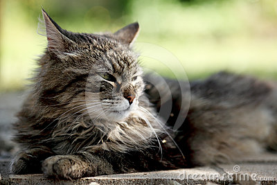 Tabby Cat Taking a Sunbath
