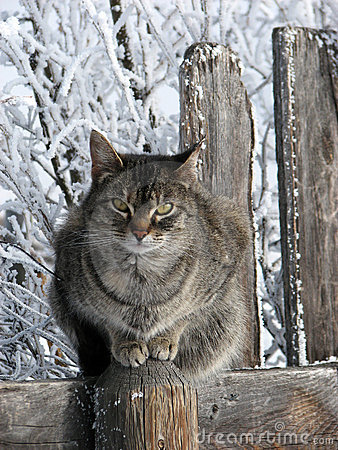 Tabby Cat with Winter Backdrop