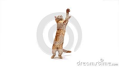 Tabby Domestic Cat roja, adulto que salta contra el fondo blanco almacen de video
