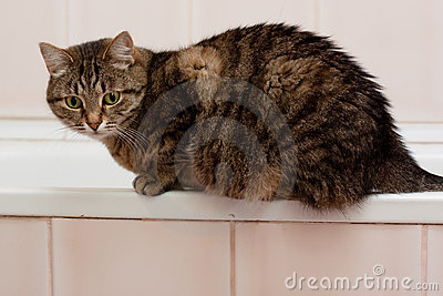 Tabby grey cat