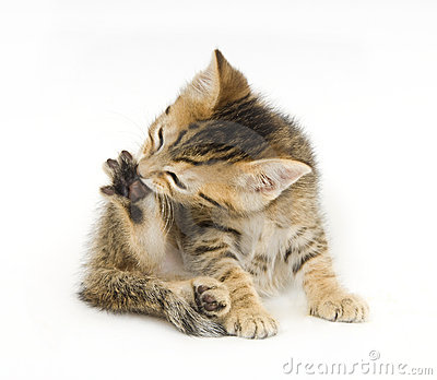 Tabby kitten biting claws