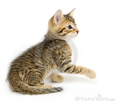 Tabby kitten playing