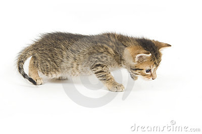 Tabby kitten playing