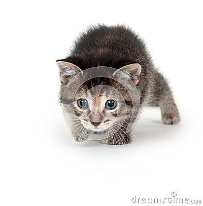 Tabby kitten stalking