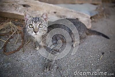 Tabby kitten vintage portrait