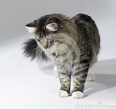 Tabby Norwegian Forest cat