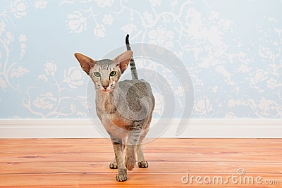 Tabby Siamese cat with vintage wall paper