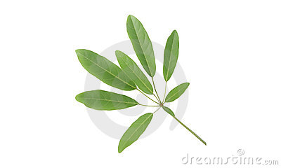 Tabebuia Leaves