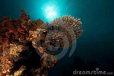 Table coral in the Red Sea.