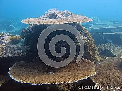Table corals in Maldives