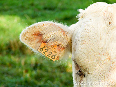 Tag on a Cow s Ear
