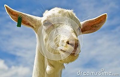 Tag goat