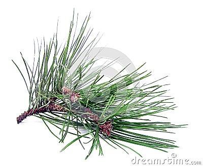 Taglio del pino