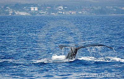 Tail Humpback Whale with island