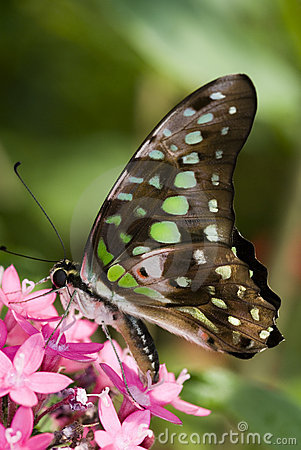 Free Tailed Jay Butterfly Stock Photo - 6360830