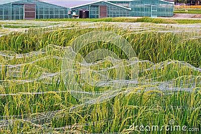 Taiwan rice farming experimental study