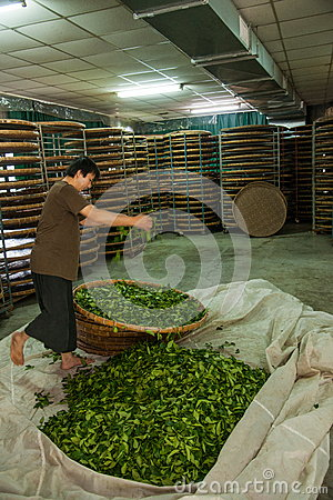 Free Taiwan S Chiayi City, Long Misato Territory Of A Tea Factory Workers Are Hanging Oolong Tea (tea First Process: Dry Tea) Stock Images - 41923214