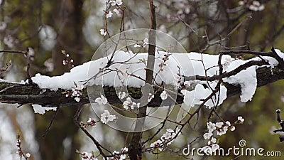 Tak van tot bloei komende abrikoos snowing stock video