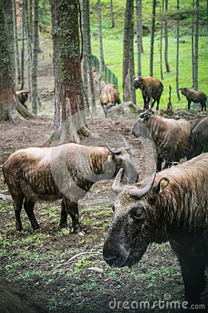 Free Takin, The National Animal Of Bhutan, In Motithang Mini Zoo. Stock Images - 105327634
