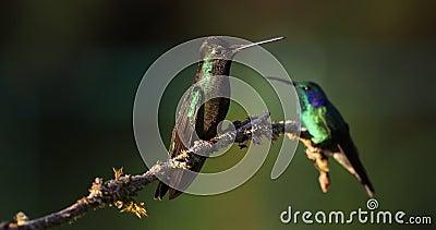 Talamanca zachwycający hummingbird - eugenes spectabilis są wielkim hummingbird zbiory wideo