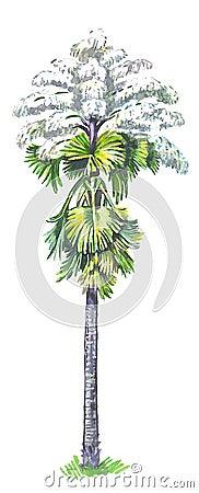 Talipot palm (Corypha umbraculifera)