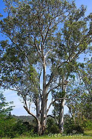 Tall Australian Eucalyptus trees in the sun