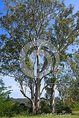 Tall Australian Eucalyptus trees in the sun