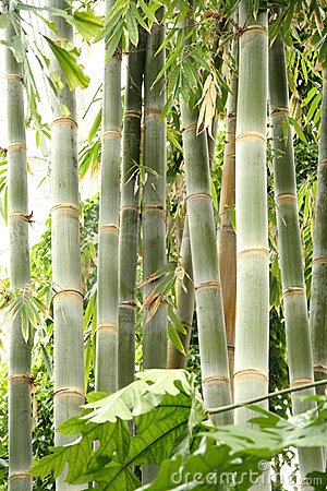 Free Tall Bamboo Royalty Free Stock Images - 111049
