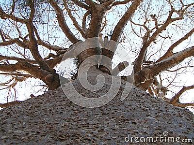 Tall Baobab