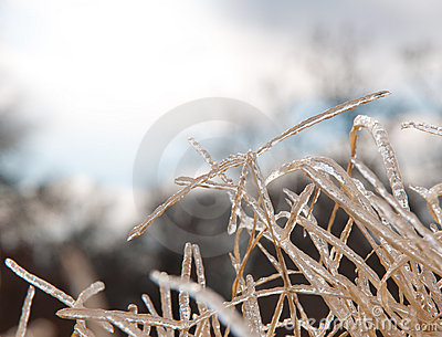 Tall Bermuda grass covered in a solid layer of ice