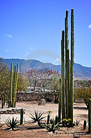 Tall cactus in Mexico