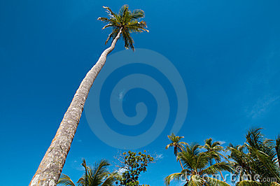 Tall coconut tree