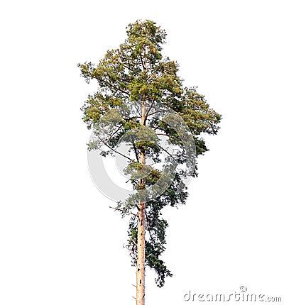 Free Tall European Pine Tree Isolated On White Stock Photos - 62340533
