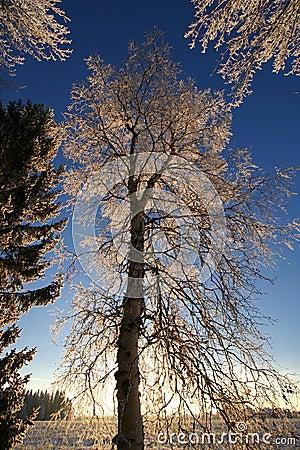 Tall frost tree