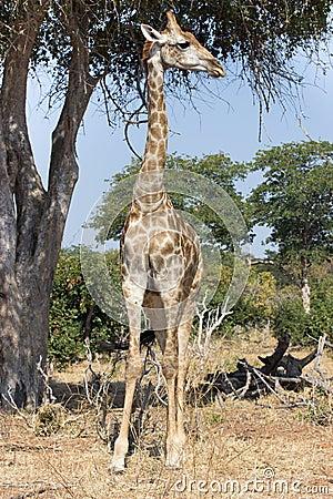 Free Tall Giraffe Royalty Free Stock Image - 43879516