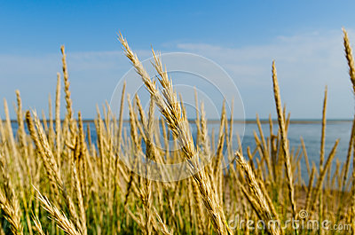 Tall grass on a sea shore