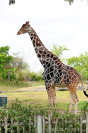 Tall Male Giraffe