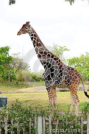 Tall Male Giraffe