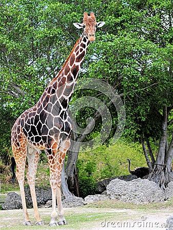 Free Tall Male Giraffe Stock Photos - 24839203