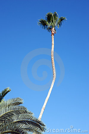 Tall palm tree