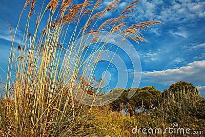 Tall pampas grass in autumn