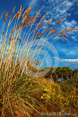 Tall pampas grass in autumn