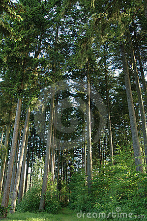 Free Tall Pine Forest  Stock Photography - 1614672