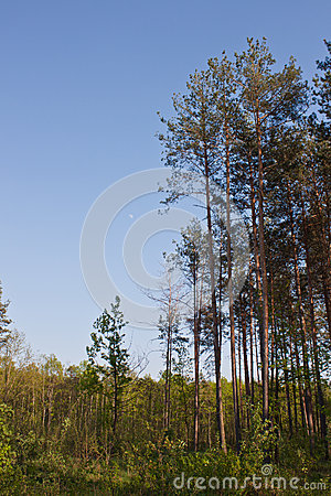 Tall Pine Forest